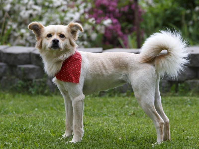 Why you shouldn't shave your double-coated dog