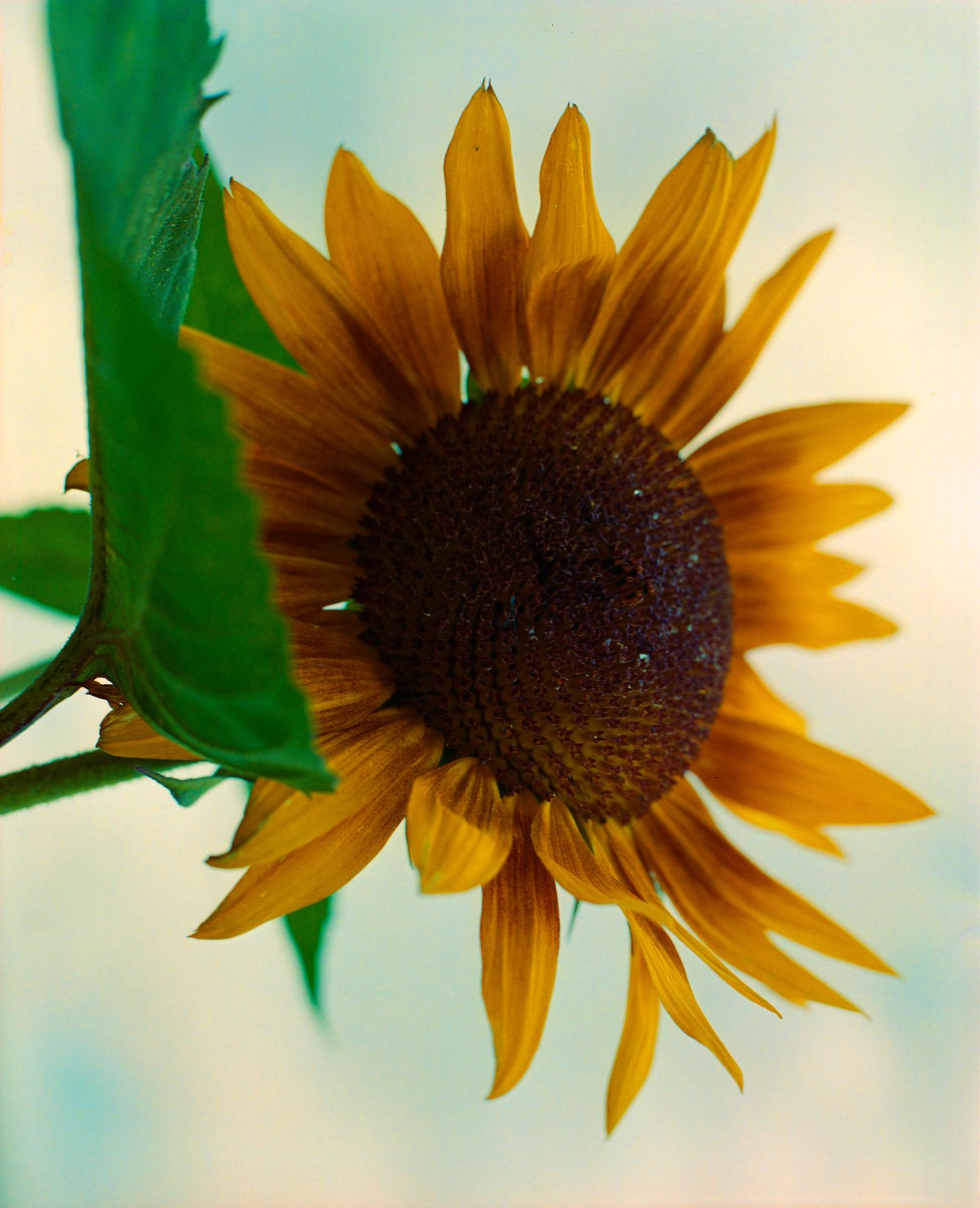 Sunflower, Photography By Ioannis Koussertari