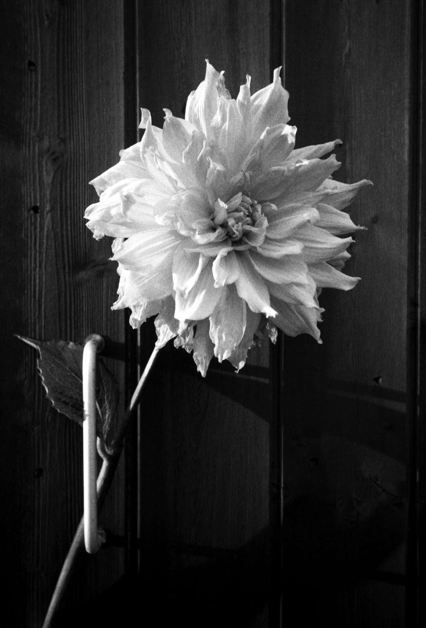 Dahlia, Observations Series, Photography By Ioannis Koussertari