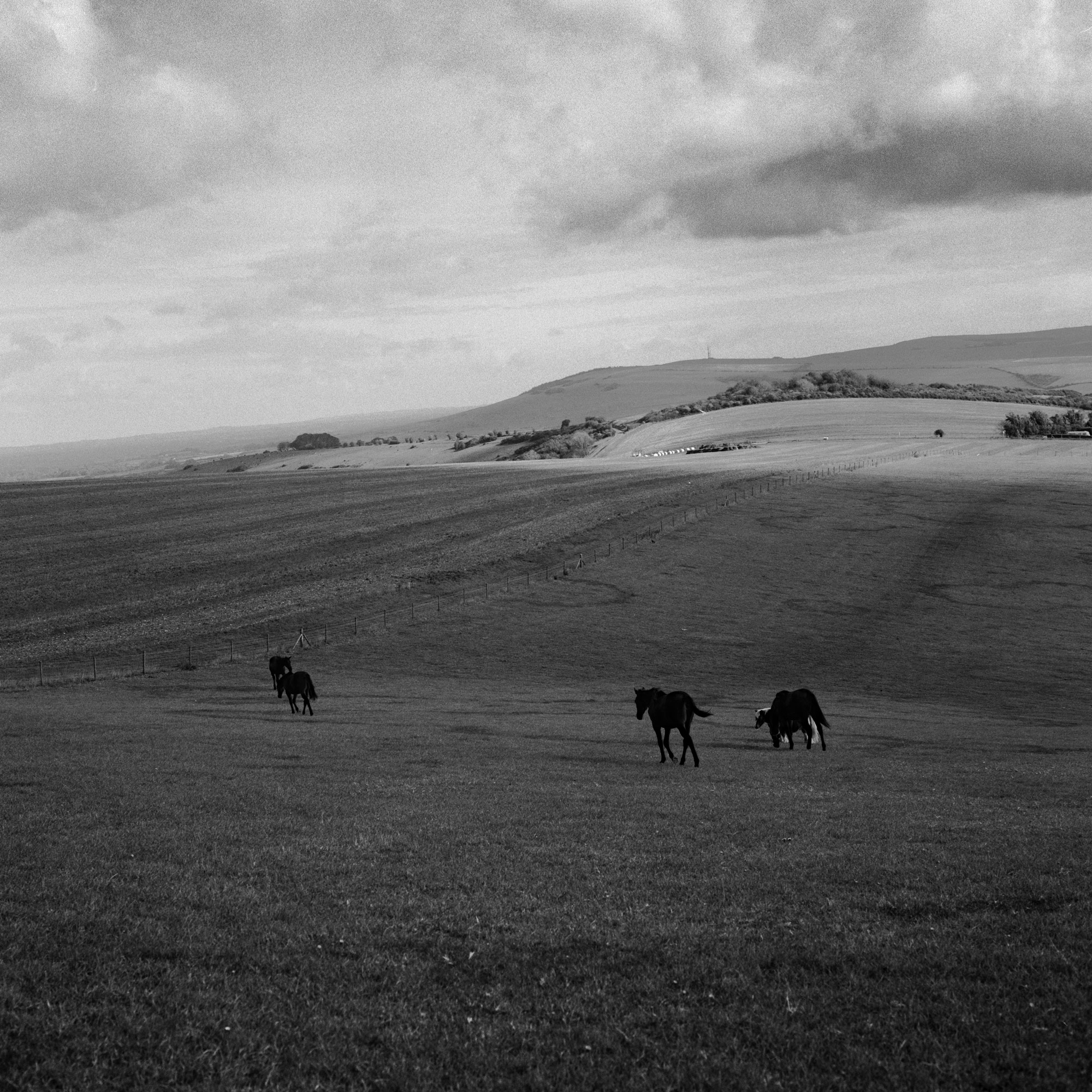 Horses roaming in a field, black and white photo by Ioannis Koussertari.