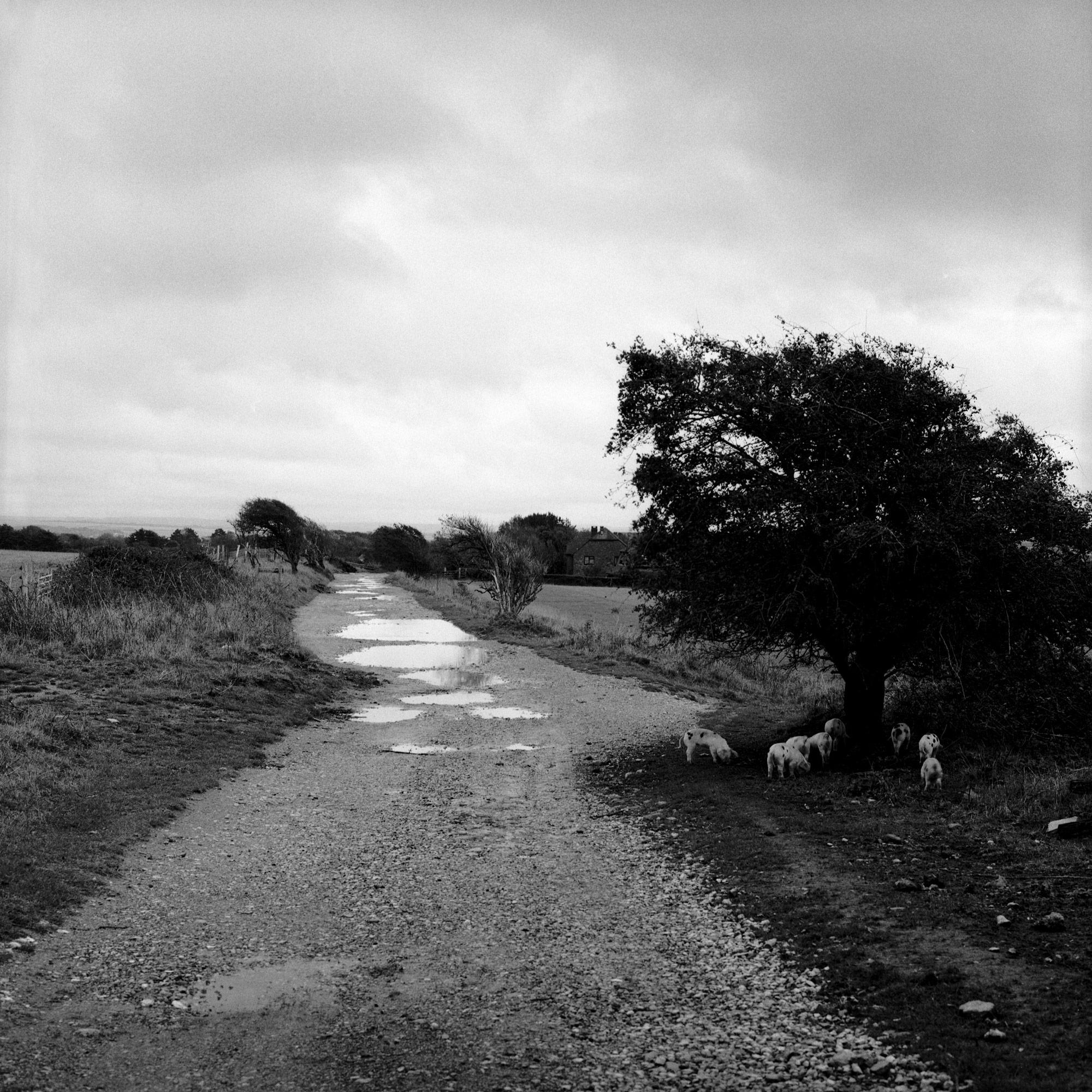 Piglets under the tree, landscape on film by ioannis koussertari.