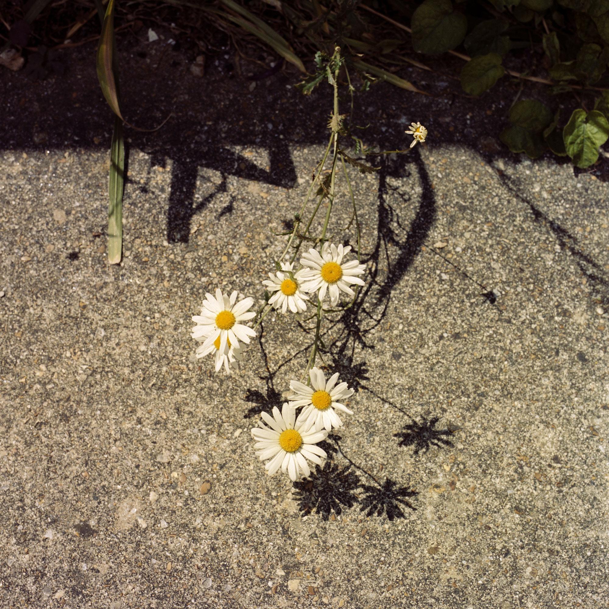 Daisies, observation on film by Ioannis Koussertari.