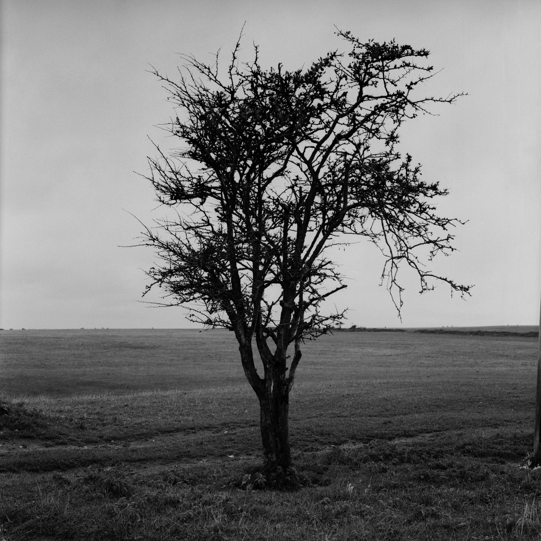 One Tree Hill, Image of a lonely tree taken on a country walk in Telscombe Village in the South East of England. Part of a wider Observations series. Using a Hasselblad 6x6 camera and Ilford FP4 125iso film. Hand developed in Ilfosol 3 chemicals in 2020. Black & White archival print using traditional darkroom chemical process. Using Ilford Multigrade RC Deluxe satin paper. 10x8in print (20.3cm x 25.4cm) Medium weight 190 Limited edition print £100 GBP