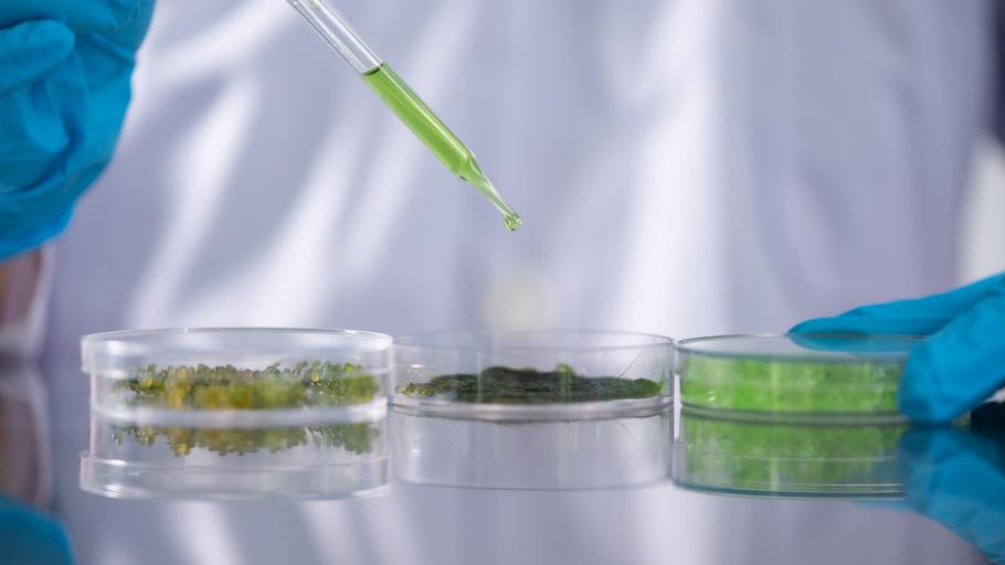 Microalgas para reduzir o teor em Arsénio nas plantas