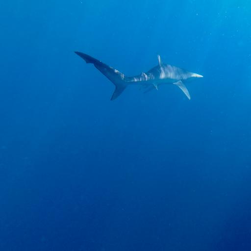 Tubarões: ancestrais e fundamentais