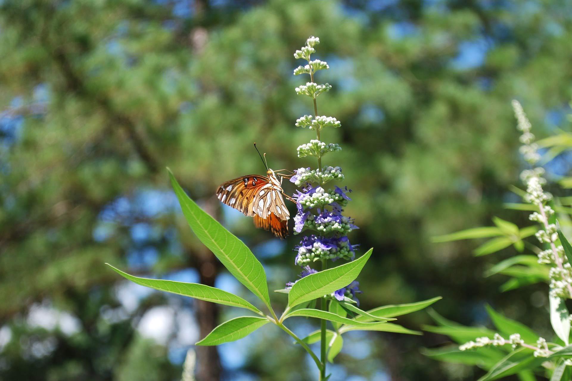 Konopljika u cvatu s leptirom na cvijetu