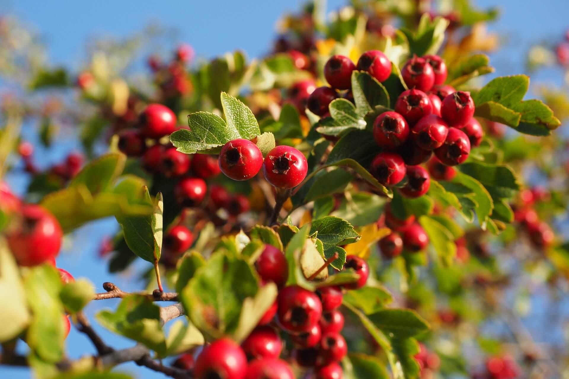 Biljka glog s plodovima i listovima
