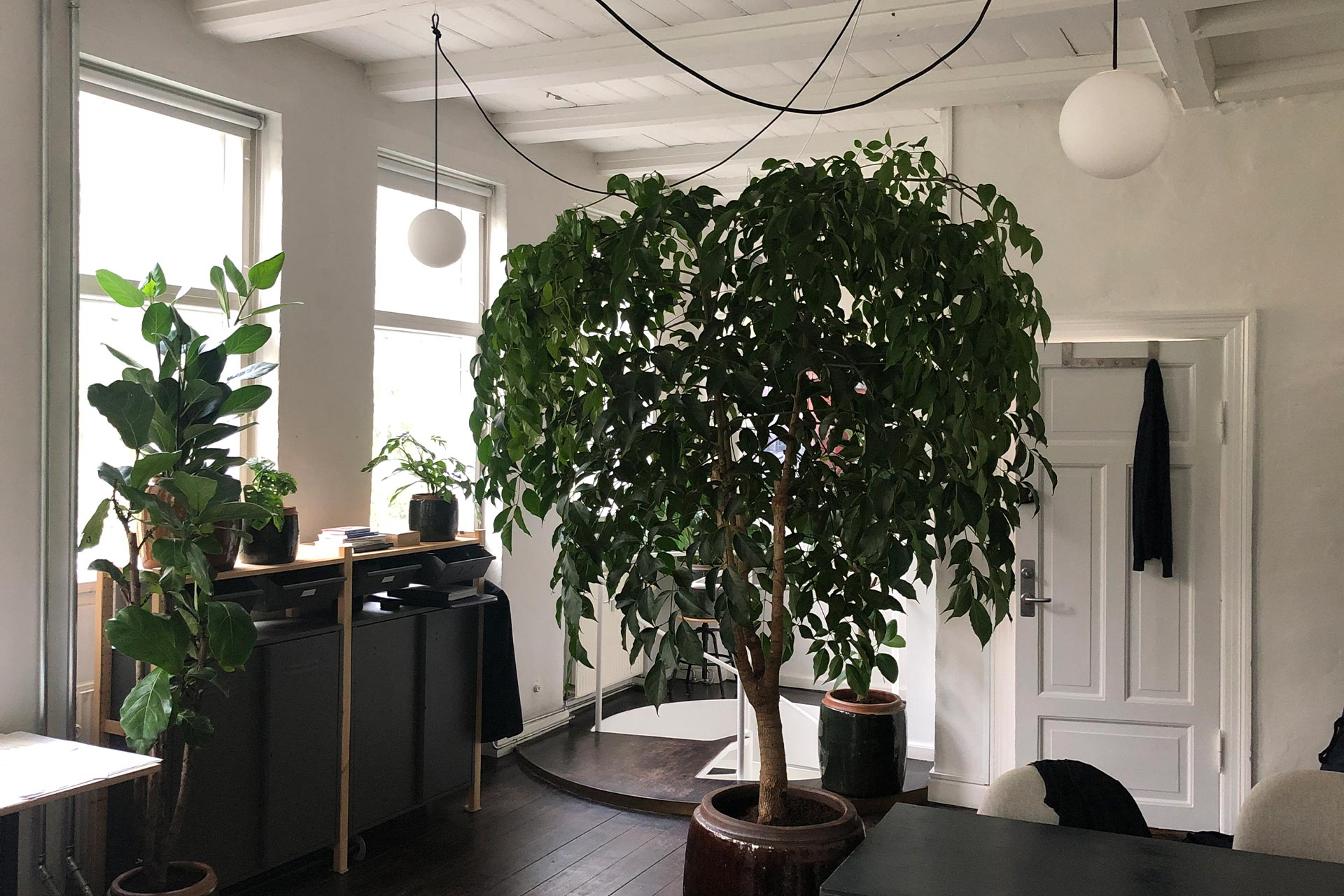 Big green plant in an office