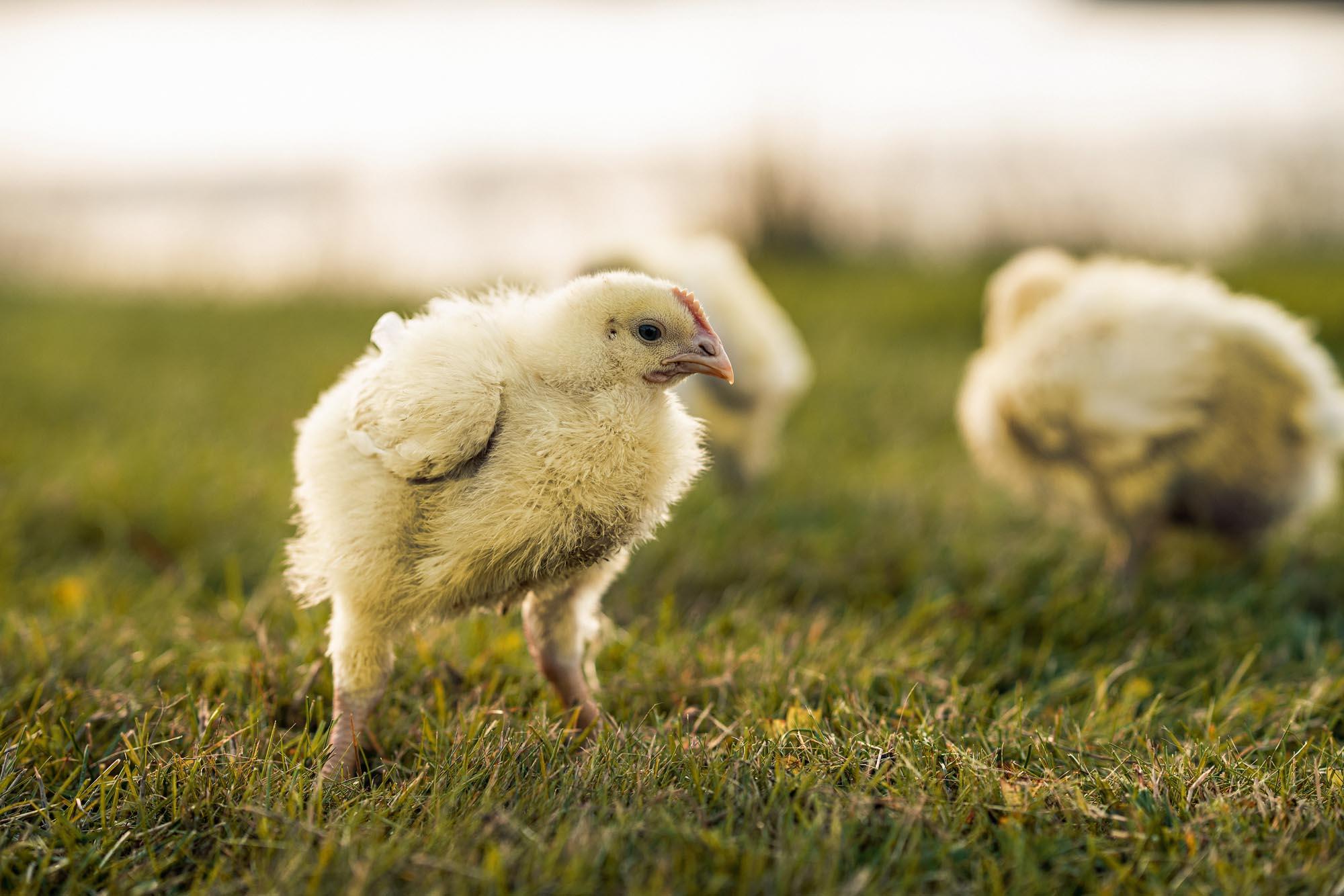 Bilde av kyllinger.