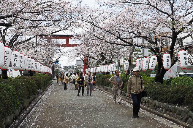 Cherry Blossoms, Tsurugaoka Hachimangu Shrine