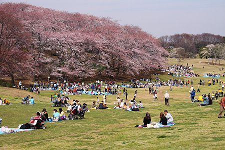 Cherry Blossoms, Negishi Forest Park