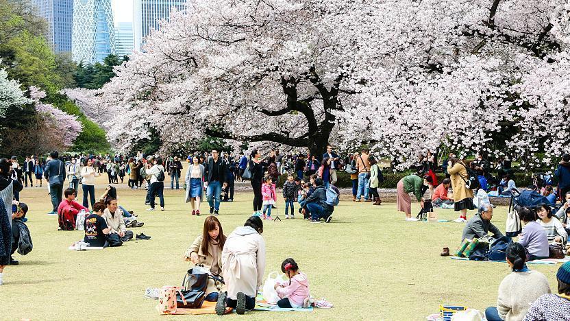 Cherry blossom, Shinjuku Gyoen