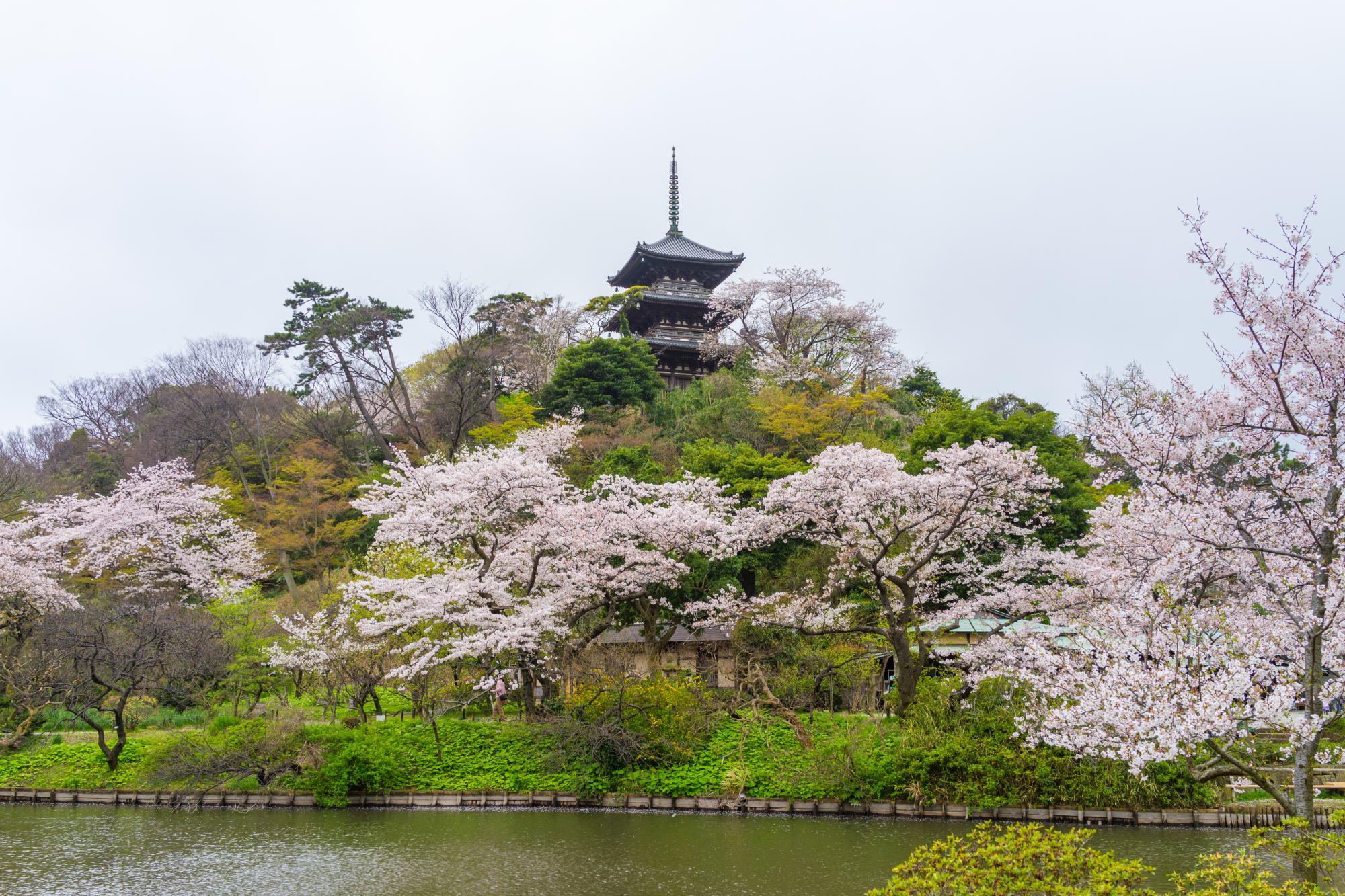 Cherry Blossoms, Sankeien Garden