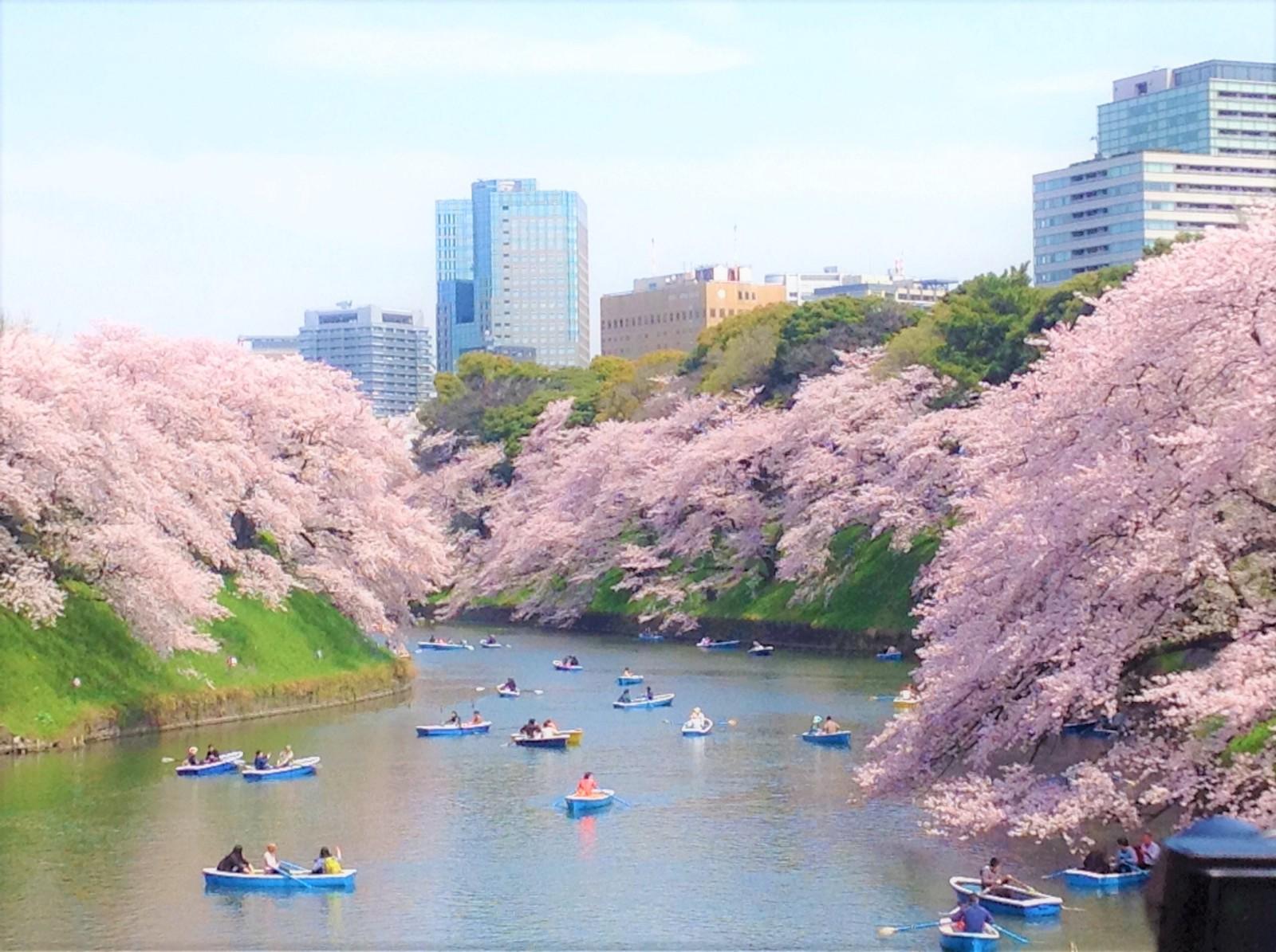 Cherry blossoms, Chidorigafuchi