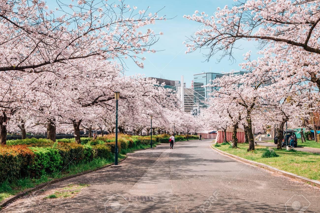 Kema Sakuranomiya Park cherry blossom