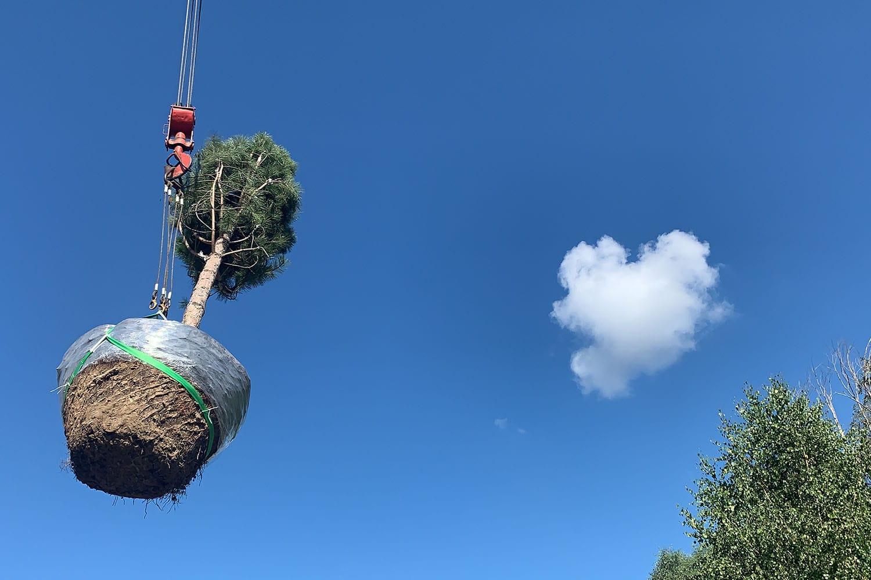 Посадка большого дерева с помощью крана