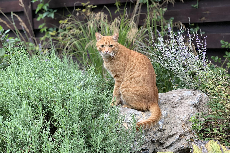 Рокарий, альпинарий и рыжий кот