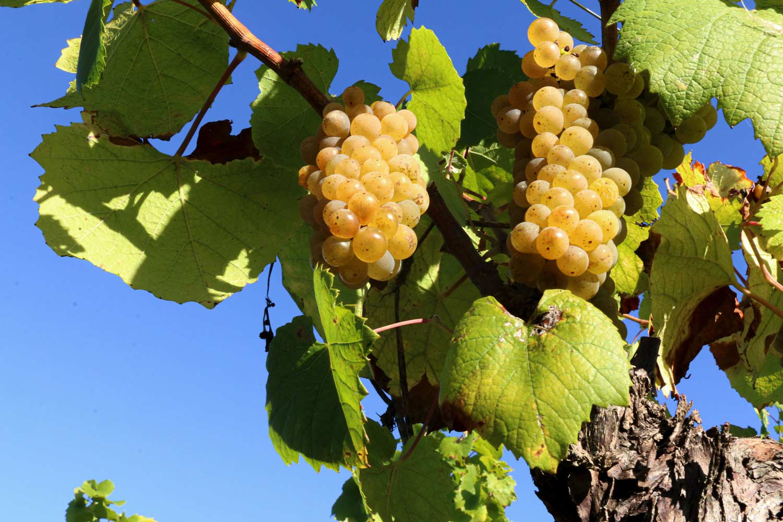 Le soleil sur les vignes
