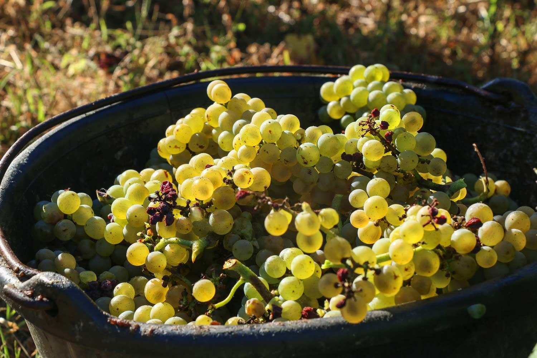 baquet de raisins vendanges 2020