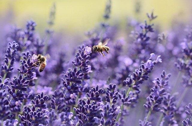 � Der Lavendel hat eine stress- und angstlösende Wirkung auf die Psyche und kann gegen rheumatische Probleme & Atemwegserkrankungen helfen. ☙