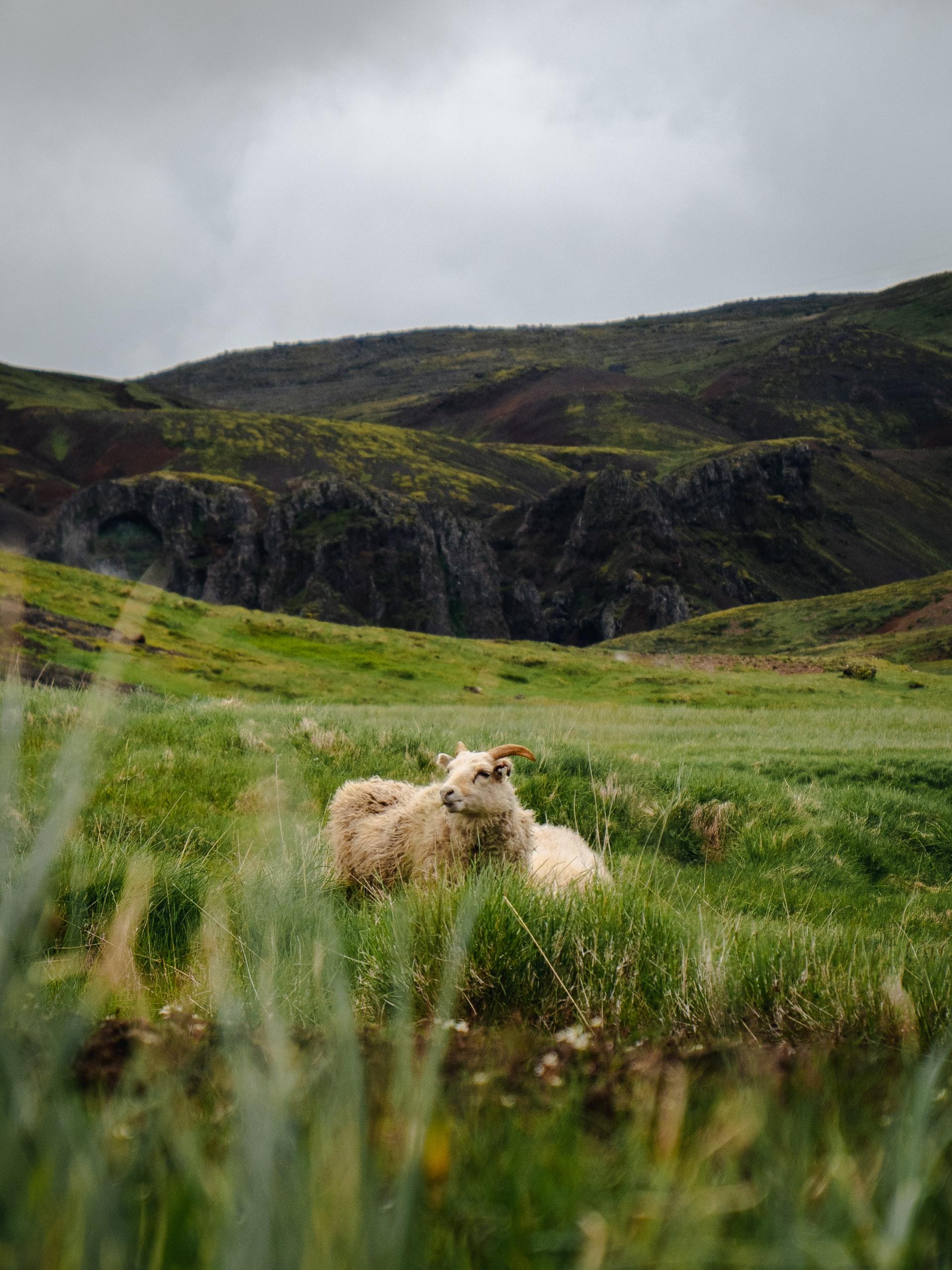 Goat in field