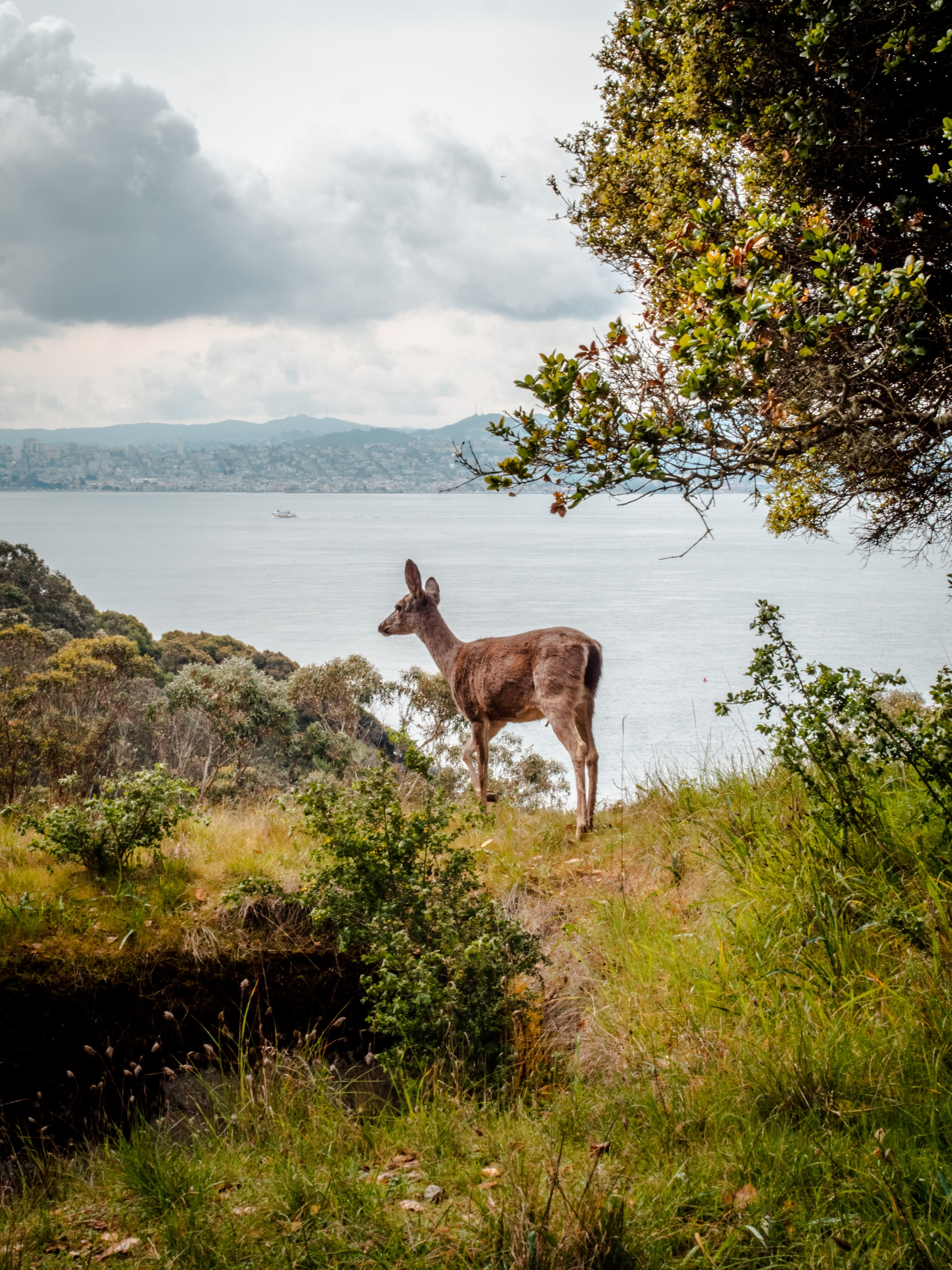 Angel island deer