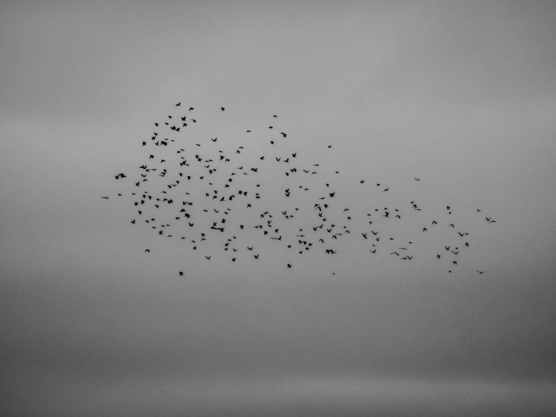 Flock of Birds in BW
