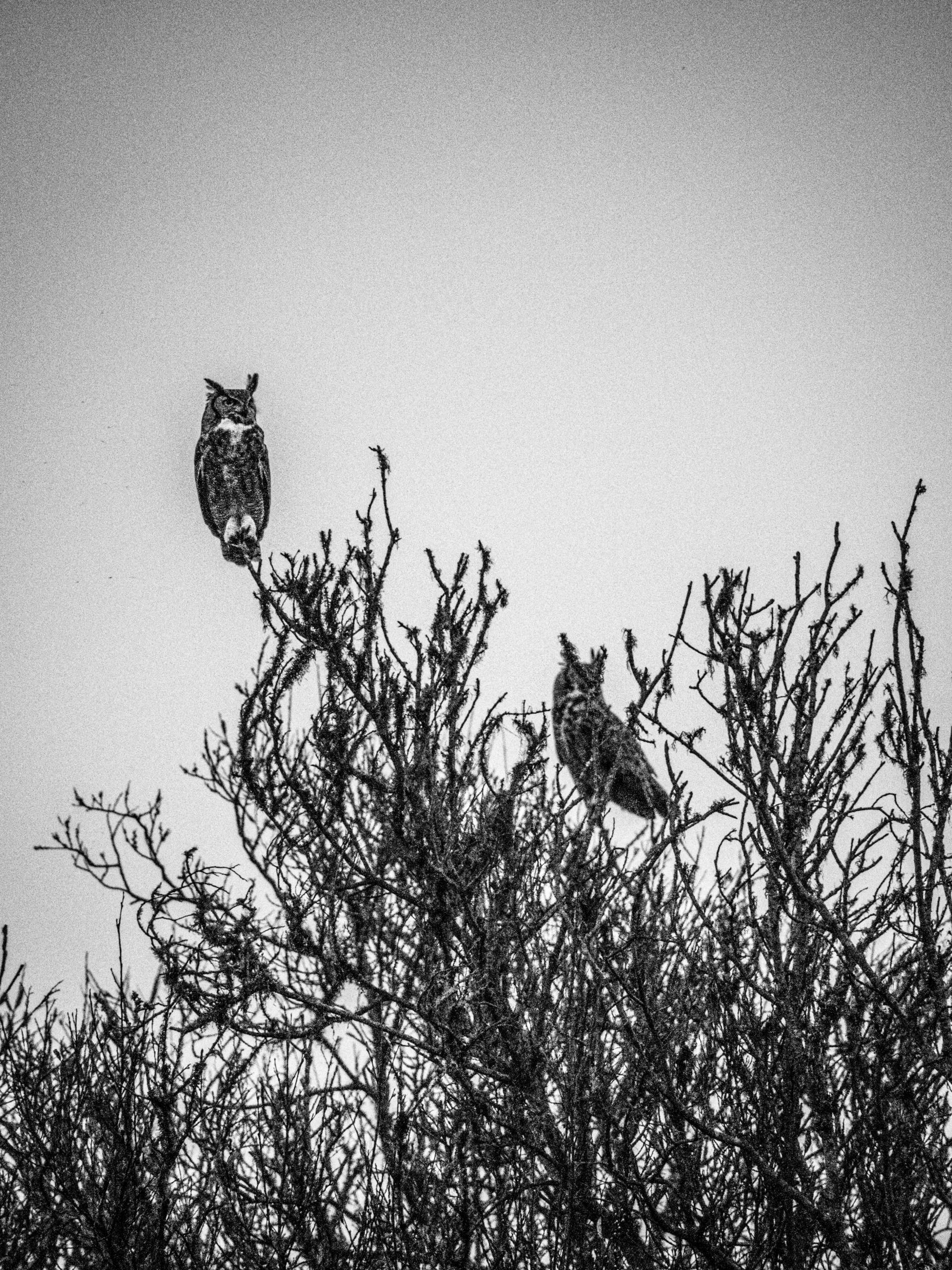Duetting Great Horned Owls