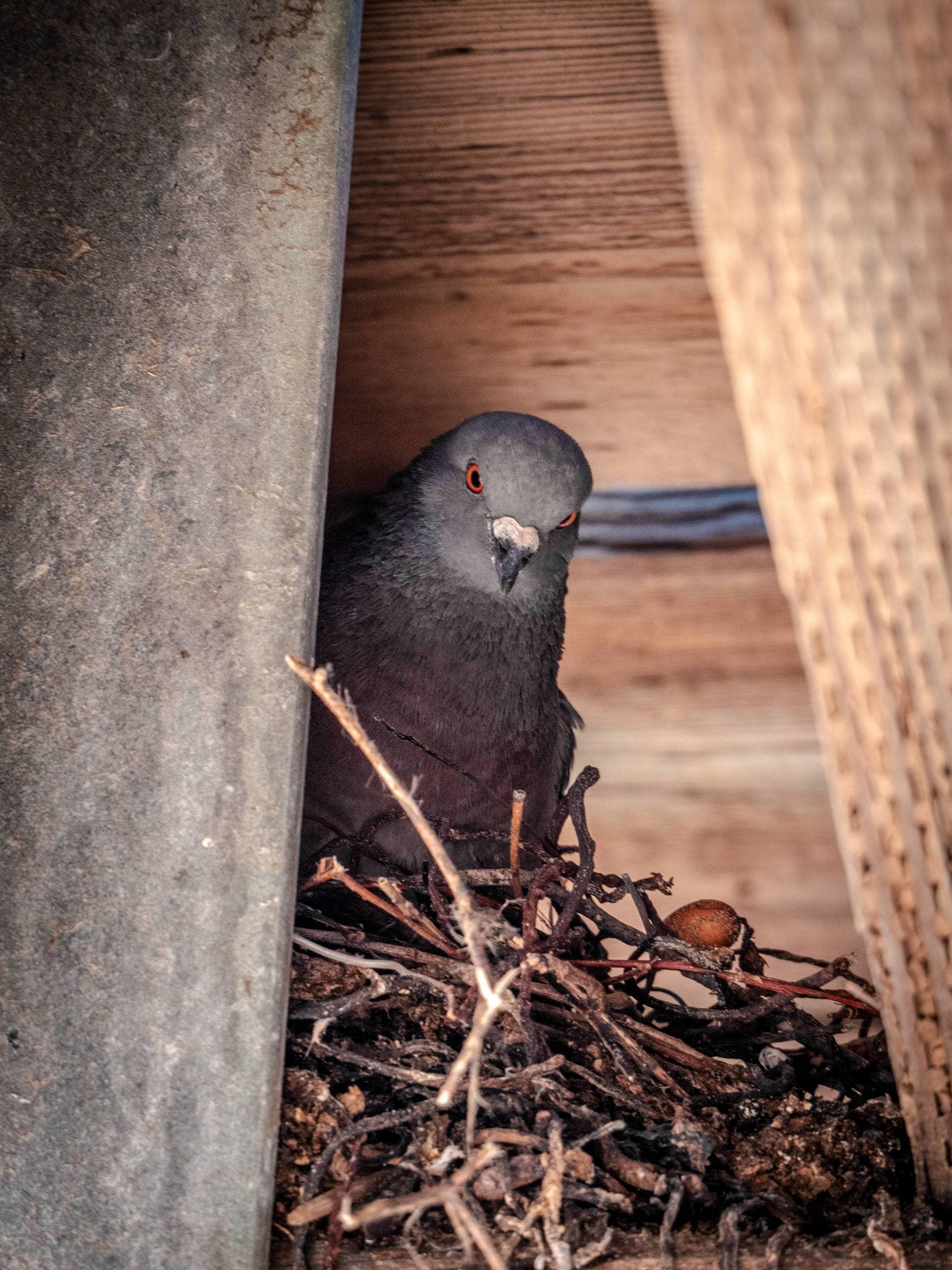 Leering Pigeon