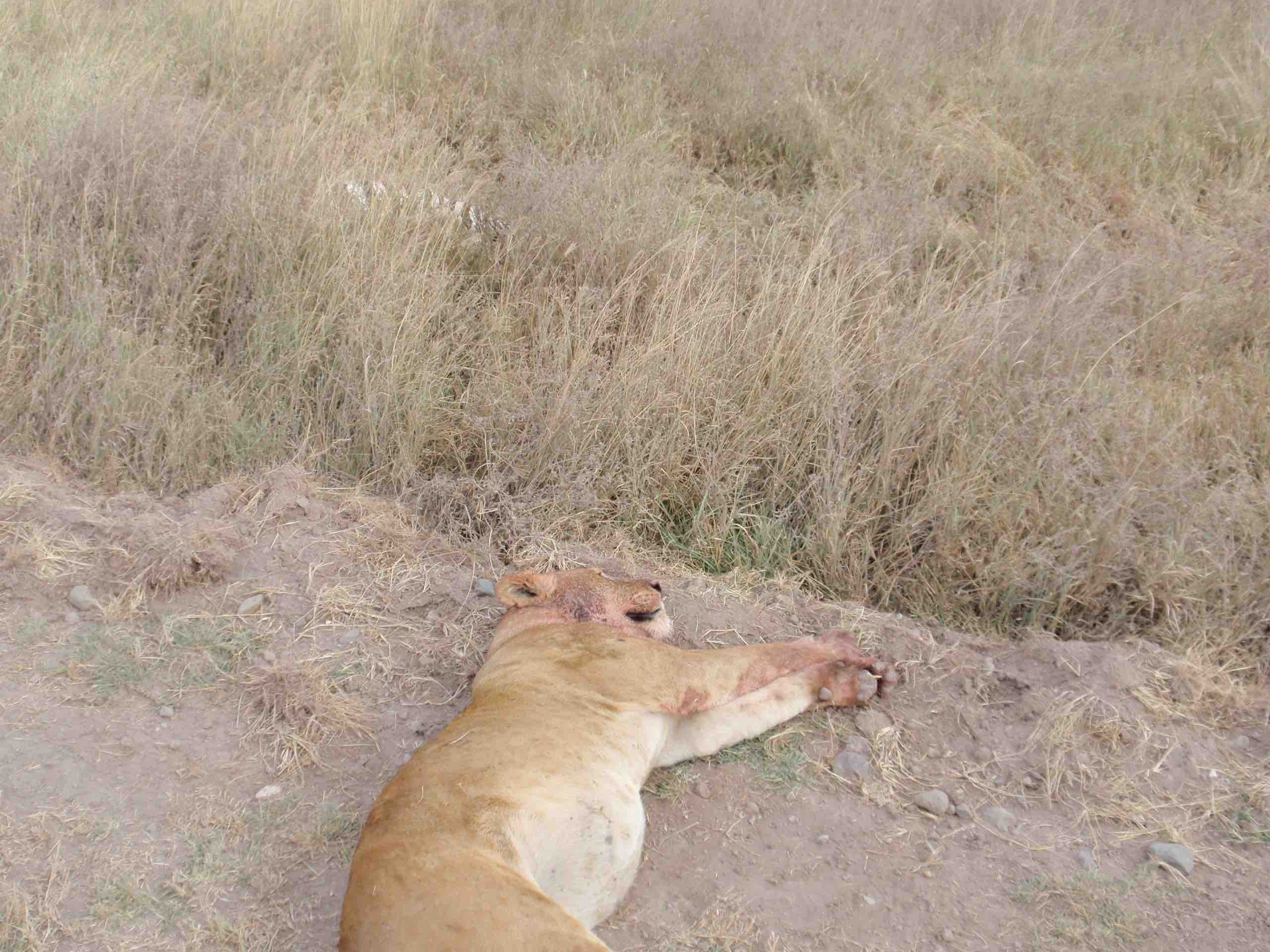Full and Tired Lioness