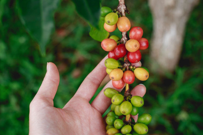 Coffee processing, grading, sorting, packing