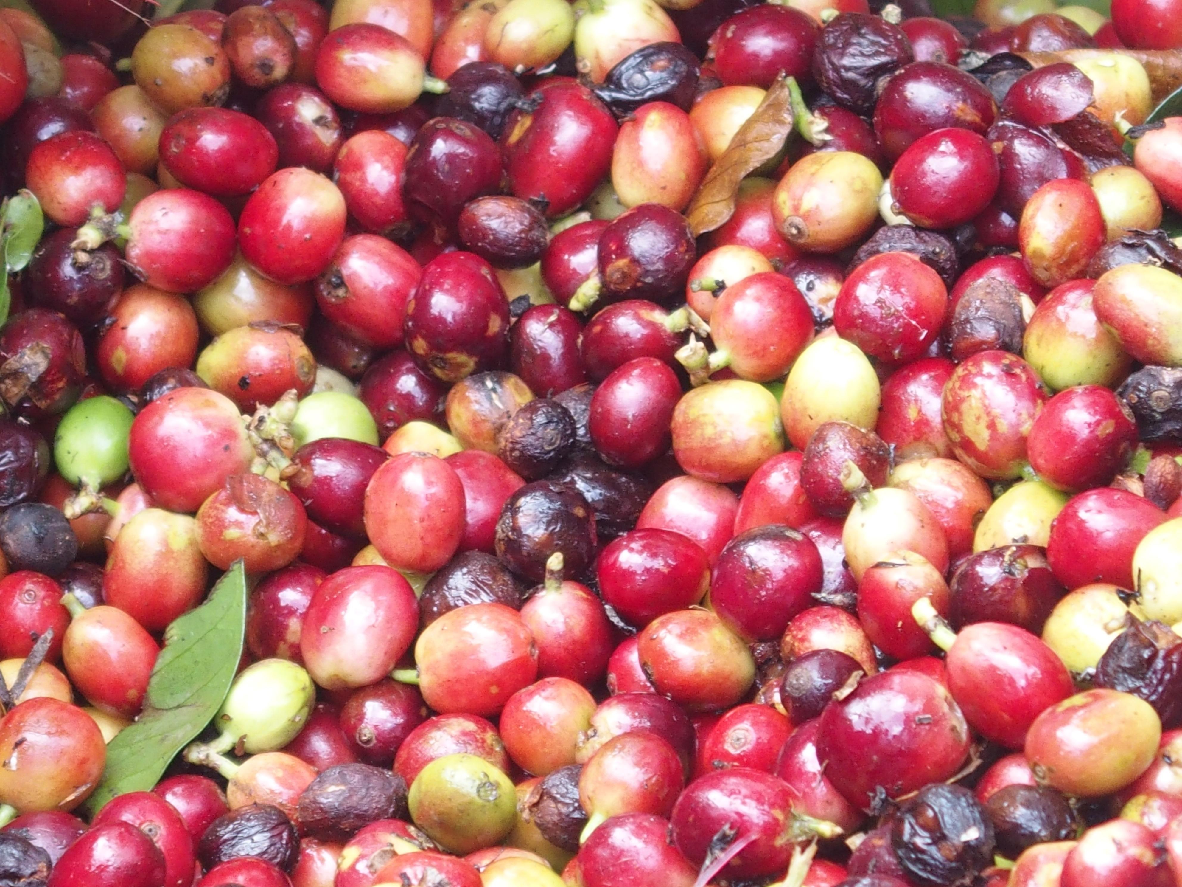Coffee cherries on the tree