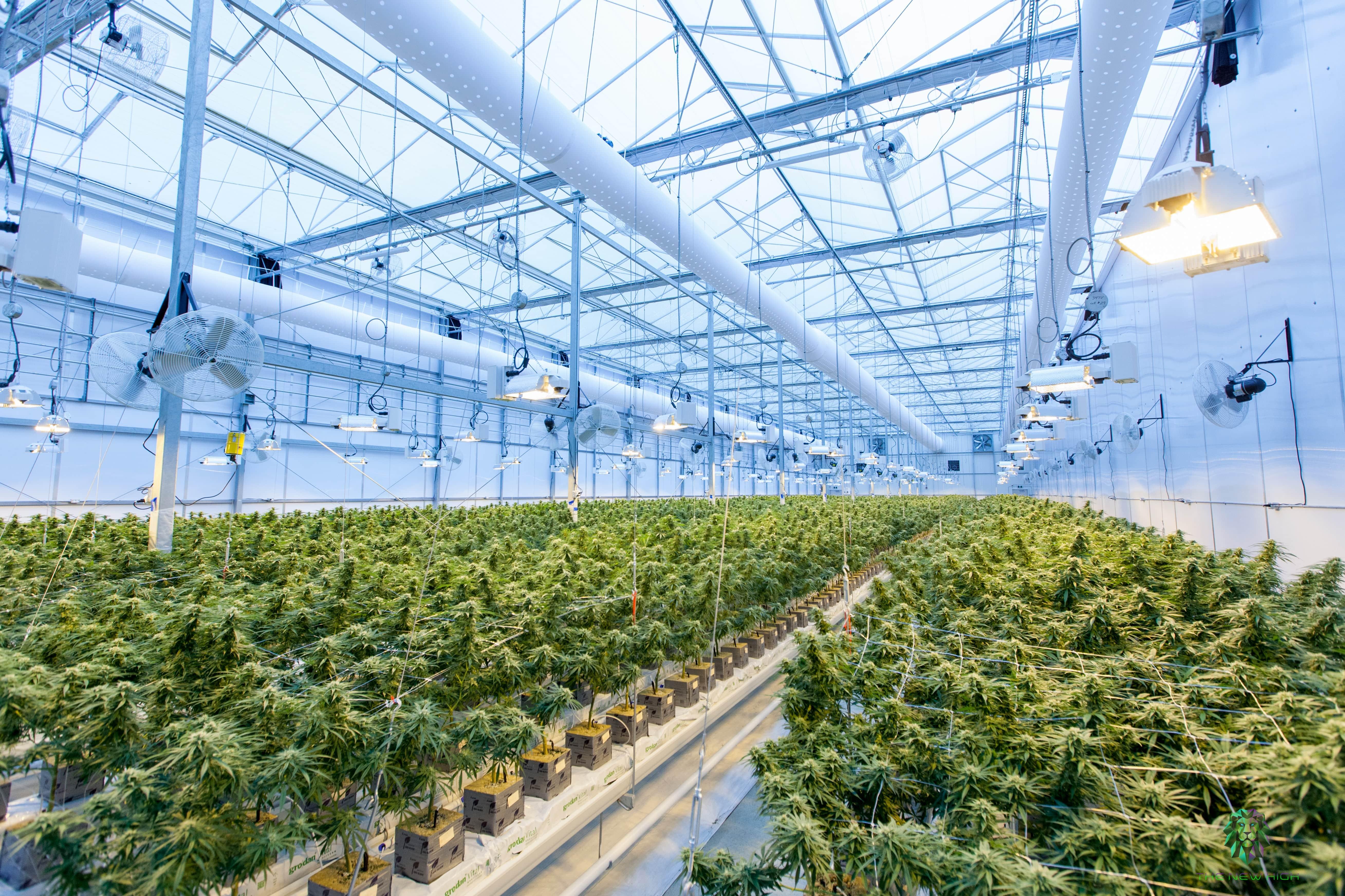 Indoor Marijuana Plantation