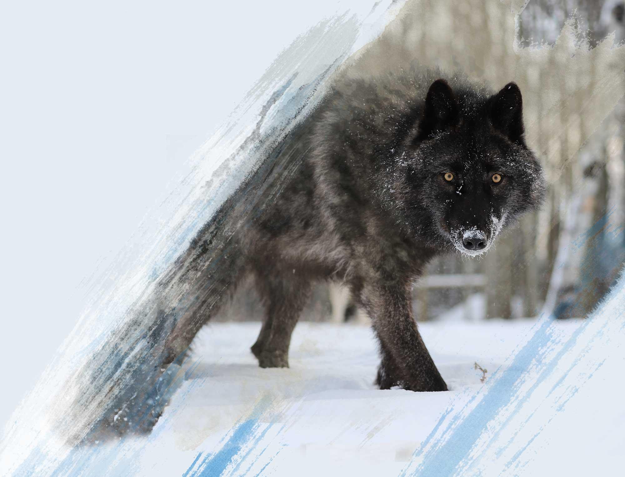 Yamnuska Wolfdog walking in the sanctuary enclosure in alberta canada.
