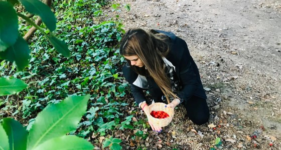 Sylwia foraging for strawberry tree fruit on campus.