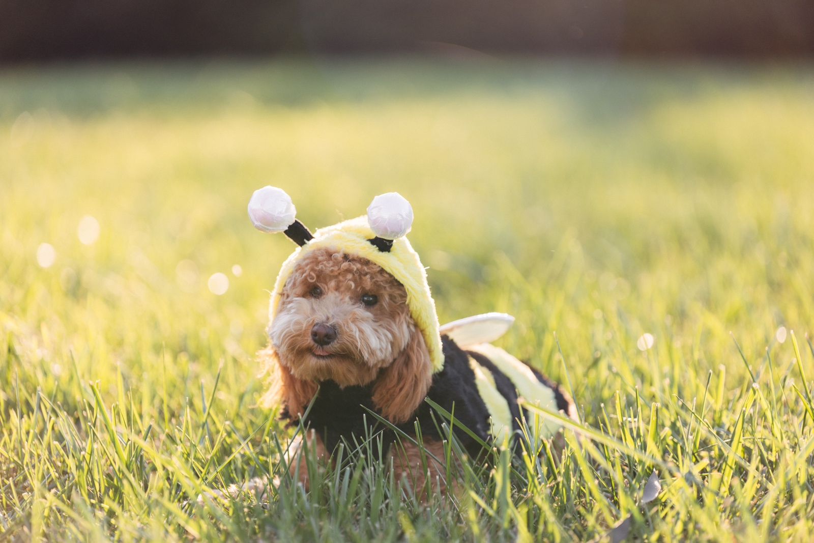 Picture of a dog in a bumble bee outfit in a field