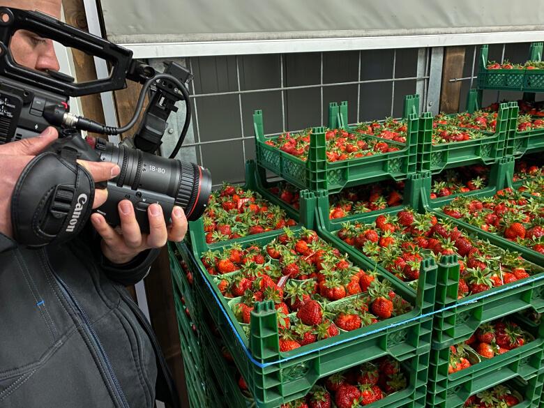 Kamera die Erdbeeren kurz nach der Ernte für ein Schulungsvideo filmt.