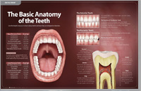 Anatomy of Teeth - Dear Doctor Magazine