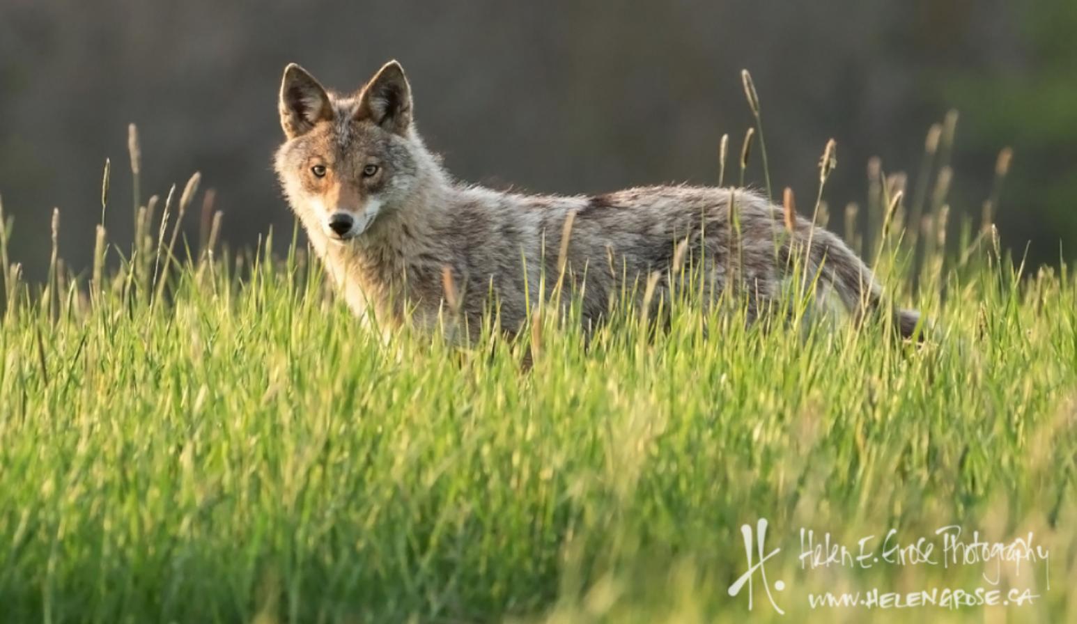 Coyote killing contest