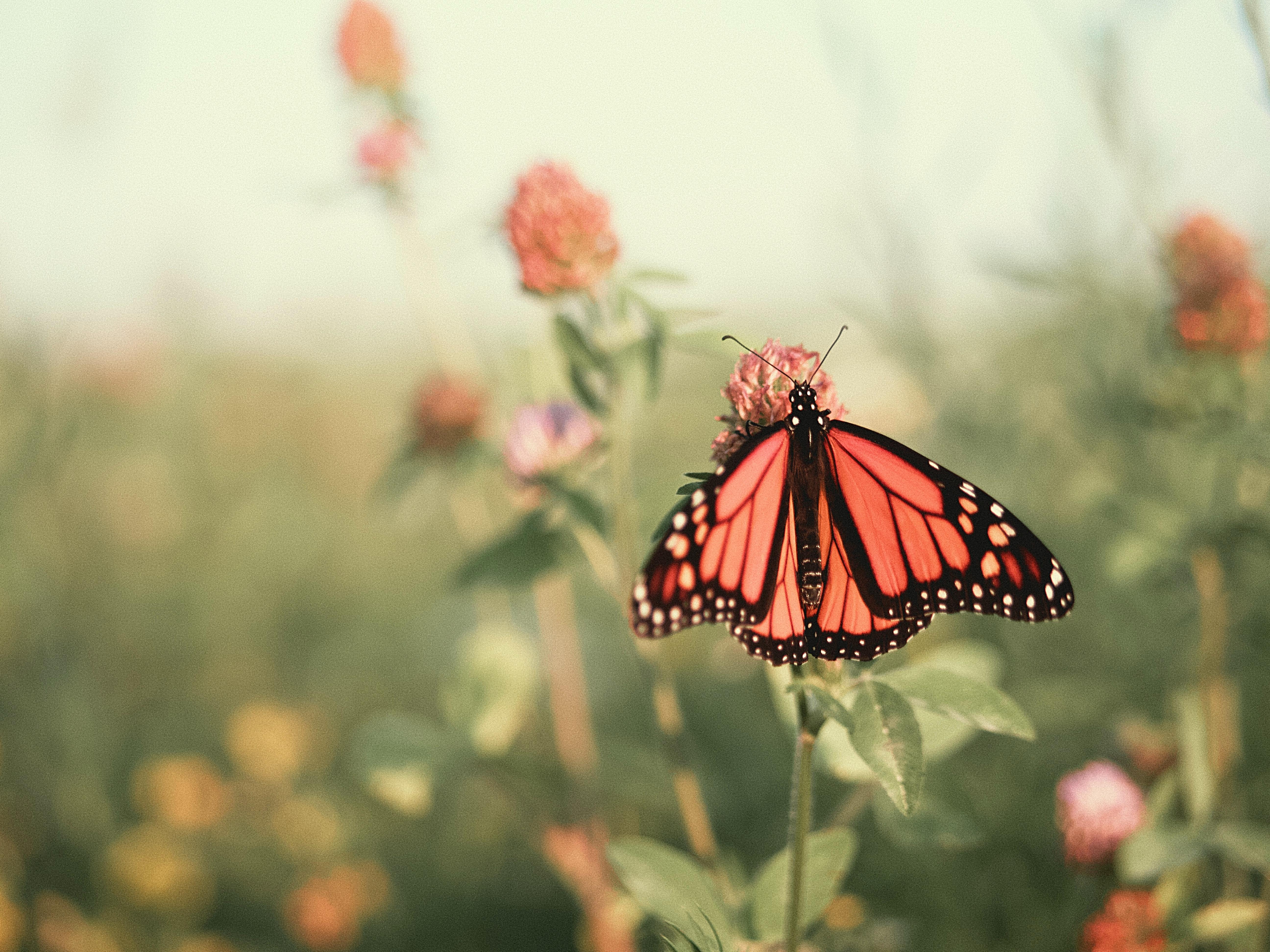 Monarch Butterfly / Joshua J. Cotten