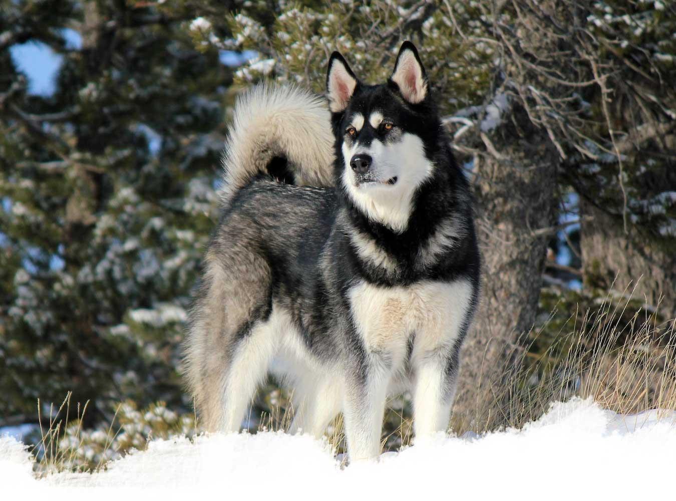 A wolfdog form yamnuska sanctuary