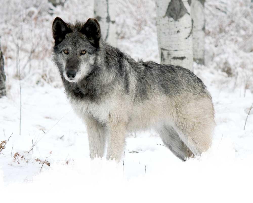 A low-content wolfdog from the yamnuska wolfdog sanctuary in cochrane, alberta