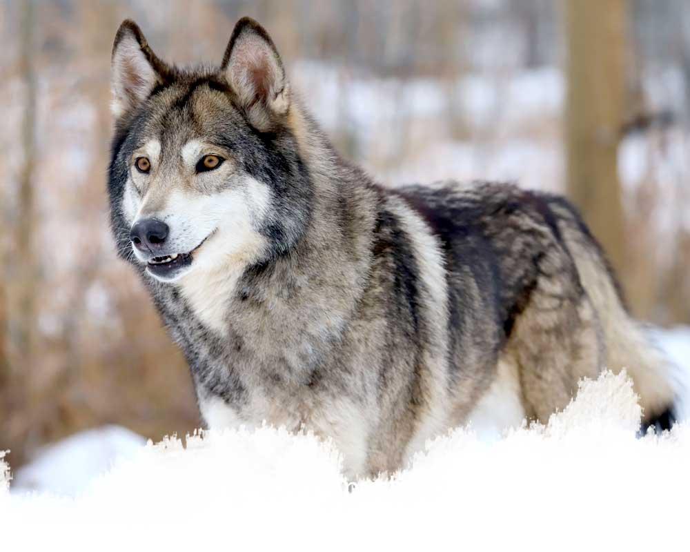 A mid-content wolfdog from the yamnuska wolfdog sanctuary in cochrane, alberta