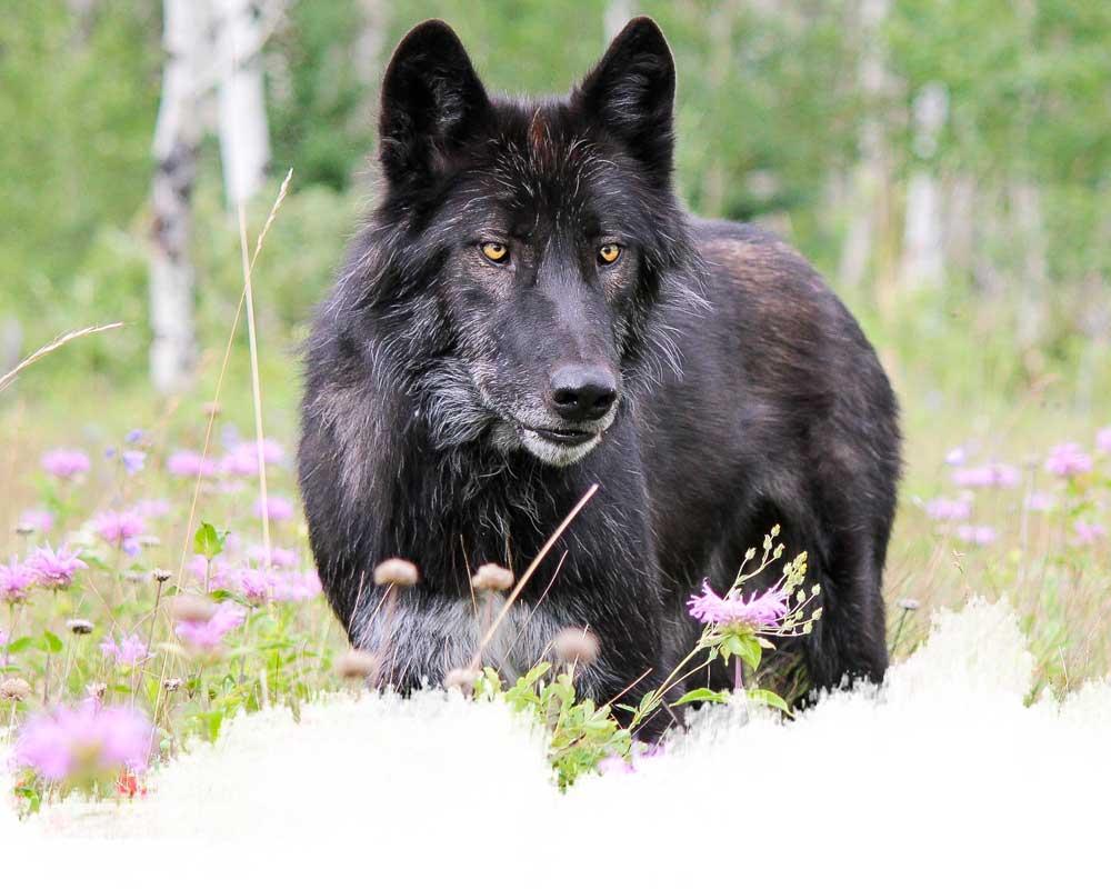 A high-content wolfdog from the yamnuska wolfdog sanctuary in cochrane, alberta