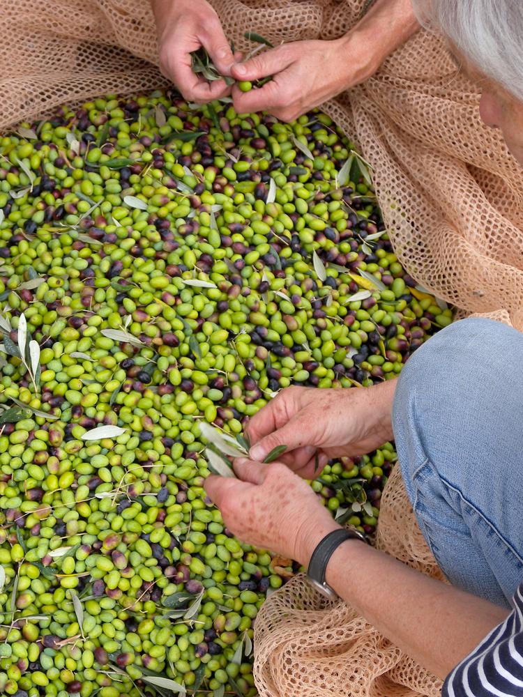 Von Hand geerntete Oliven auf Podere Riparbella