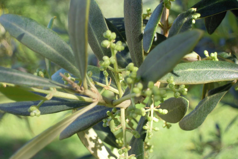 kurz vor der Olivenbaumblüte auf Podere Riparbella