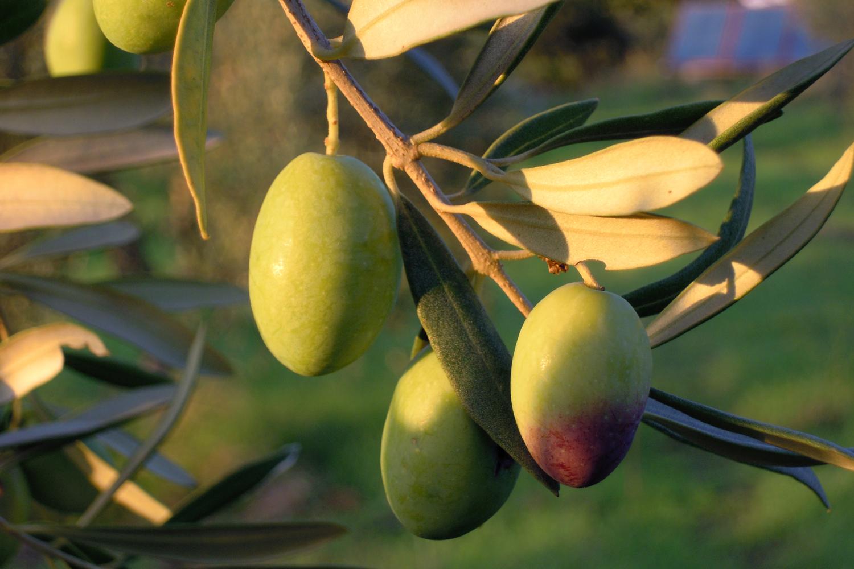 Die Oliven auf Podere Riparbella