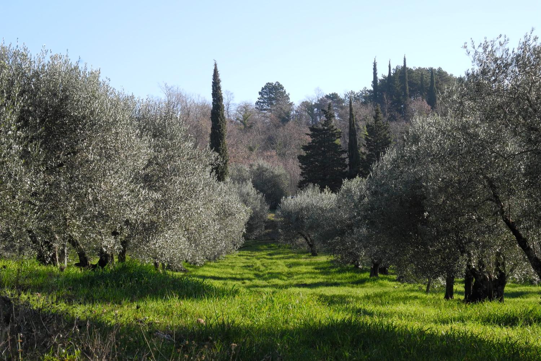 Die Olivenbäume auf Podere Riparbella