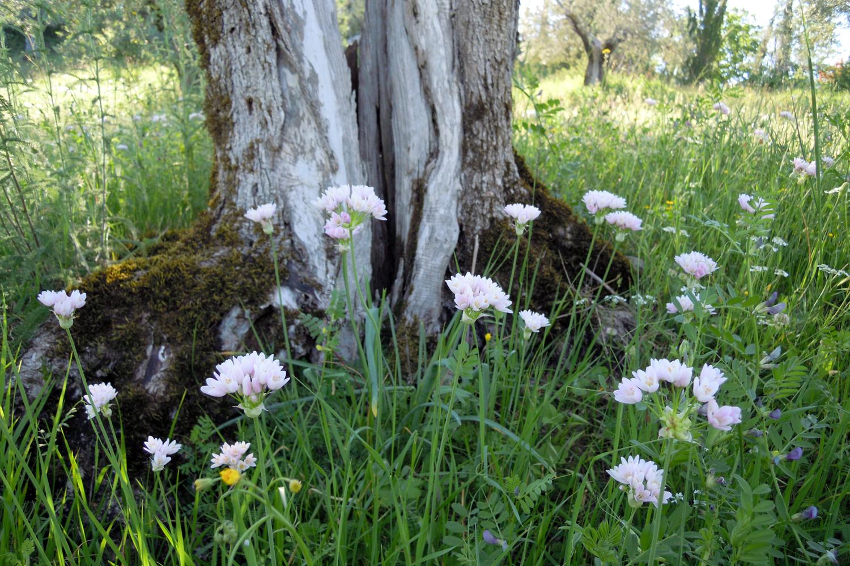 Die Umgebung der Olivenbäume auf Podere Riparbella