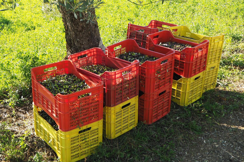 Die Olivenernte auf Podere Riparbella